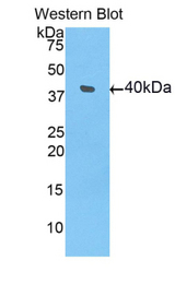Western blot of recombinant BMP10 / BMP-10.  This image was taken for the unconjugated form of this product. Other forms have not been tested.