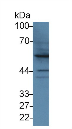 Western Blot; Sample: Human Hela cell lysate; Primary Ab: 3µg/ml Rabbit Anti-Bovine BMP2 Antibody Second Ab: 0.2µg/mL HRP-Linked Caprine Anti-Rabbit IgG Polyclonal Antibody