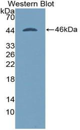 Western blot of recombinant BMP2.