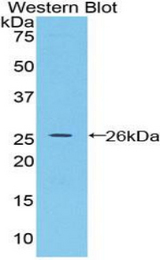 Western blot of recombinant BMP2 / BMP-2.  This image was taken for the unconjugated form of this product. Other forms have not been tested.