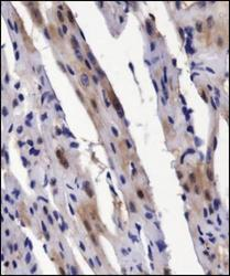 Immunohistochemistry: BMP2 Antibody - IHC analysis of BMP2 in mouse heart using DAB with hematoxylin counterstain.  This image was taken for the unconjugated form of this product. Other forms have not been tested.
