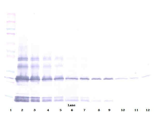 Western Blot (non-reducing) of BMP2 antibody