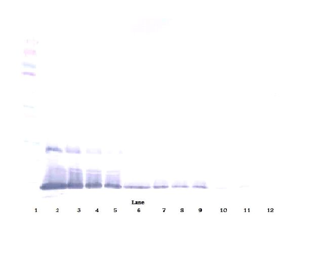 Western Blot (reducing) of BMP2 antibody