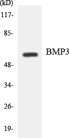 Western blot analysis of the lysates from HeLa cells using BMP3 antibody.