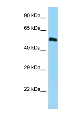 BMP3 antibody Western blot of Fetal Heart lysate. Antibody concentration 1 ug/ml.  This image was taken for the unconjugated form of this product. Other forms have not been tested.