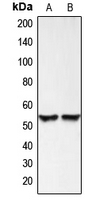 Western blot analysis of BMP3 expression in HEK293T (A); HeLa (B) whole cell lysates.