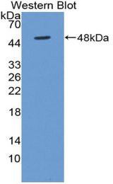 Western blot of recombinant BMP4.