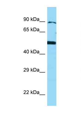 BMP4 antibody Western blot of U937 Cell lysate. Antibody concentration 1 ug/ml.  This image was taken for the unconjugated form of this product. Other forms have not been tested.