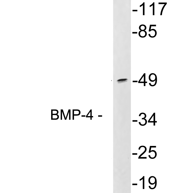 Western blot analysis of lysates from 293 cells, using BMP-4 antibody.