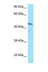 BMP4 antibody Western blot of A549 Cell lysate. Antibody concentration 1 ug/ml.  This image was taken for the unconjugated form of this product. Other forms have not been tested.