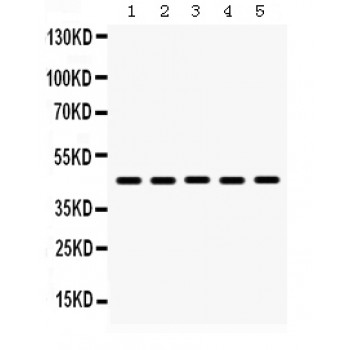 BMP4 antibody Western blot. All lanes: Anti BMP4 at 0.5 ug/ml. Lane 1: Mouse Lung Tissue Lysate at 50 ug. Lane 2: Mouse Liver Tissue Lysate at 50 ug. Lane 3: HEPA Whole Cell Lysate at 40 ug. Lane 4: HEPG2 Whole Cell Lysate at 40 ug. Lane 5: HELA Whole Cell Lysate at 40 ug. Predicted band size: 46 kD. Observed band size: 46 kD.