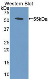Western blot of recombinant BMP5 / BMP-5.  This image was taken for the unconjugated form of this product. Other forms have not been tested.