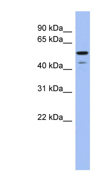 BMP6 antibody western blot of Human placenta lysate.  This image was taken for the unconjugated form of this product. Other forms have not been tested.