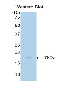 Western blot of recombinant BMP6 / BMP-6.  This image was taken for the unconjugated form of this product. Other forms have not been tested.
