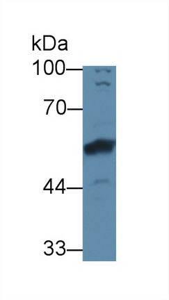 Western Blot; Sample: Rat Cerebrum lysate; Primary Ab: 3µg/ml Rabbit Anti-Human BMP6 Antibody Second Ab: 0.2µg/mL HRP-Linked Caprine Anti-Rabbit IgG Polyclonal Antibody