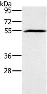 Western blot analysis of Mouse heart tissue, using BMP6 Polyclonal Antibody at dilution of 1:500.