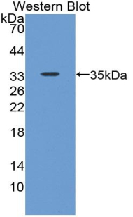 Western blot of recombinant BMP7.