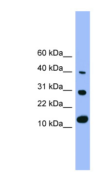 BMP7 antibody Western blot of Rat Lung lysate. This image was taken for the unconjugated form of this product. Other forms have not been tested.