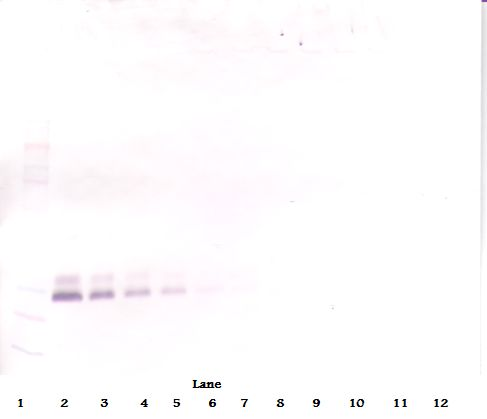 Western Blot (non-reducing) of BMP7 antibody. This image was taken for the unconjugated form of this product. Other forms have not been tested.