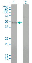 Western Blot analysis of BMP7 expression in transfected 293T cell line by BMP7 monoclonal antibody (M01), clone M1-F8.Lane 1: BMP7 transfected lysate(49.313 KDa).Lane 2: Non-transfected lysate.