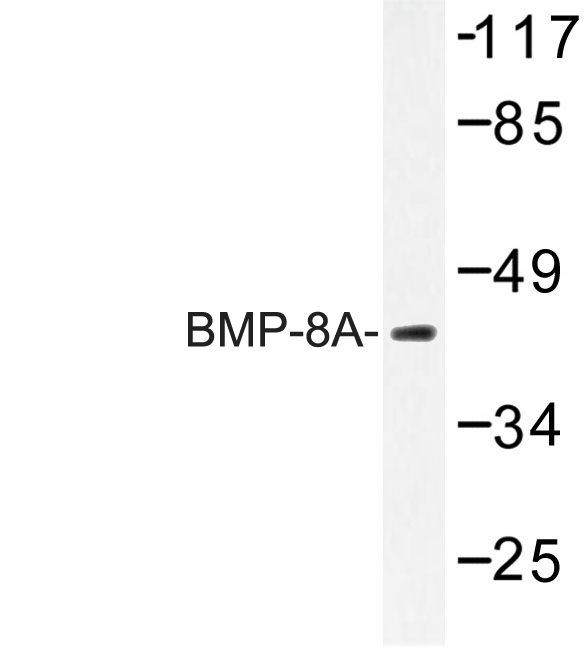 Western blot of BMP-8A (Q299) pAb in extracts from COLO cells.
