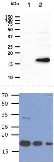 The cell lysates (40ug) were resolved by SDS-PAGE, transferred to PVDF membrane and probed with anti-human BMP8b antibody (1:1000). Proteins were visualized using a goat anti-mouse secondary antibody conjugated to HRP and an ECL detection system. Lane 1.: 293T cell lysate Lane 2.: BMP8b transfected 293T cell lysate The Human Recombinant protein BMP8b(200, 100, 50ng) were resolved by SDS-PAGE, transferred to PVDF membrane and probed with anti-human BMP8bq antibody (1:1000). Proteins were visualized using a goat anti-mouse secondary antibody conjugated to HRP and an ECL detection system.