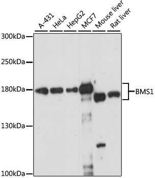 BMS1 Antibody - Western blot analysis of extracts of various cell lines, using BMS1 antibody at 1:1000 dilution. The secondary antibody used was an HRP Goat Anti-Rabbit IgG (H+L) at 1:10000 dilution. Lysates were loaded 25ug per lane and 3% nonfat dry milk in TBST was used for blocking. An ECL Kit was used for detection and the exposure time was 15s.
