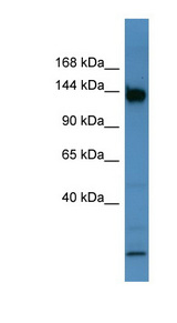 BNC1 antibody Western blot of Mouse Intestine lysate. This image was taken for the unconjugated form of this product. Other forms have not been tested.