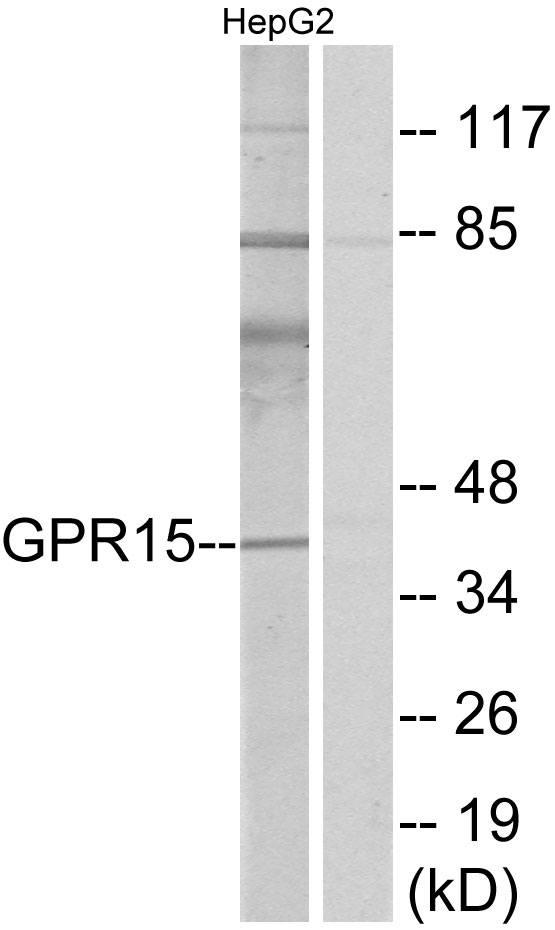 BOB / GPR15 Antibody - Western blot analysis of lysates from HepG2 cells, using GPR15 Antibody. The lane on the right is blocked with the synthesized peptide.