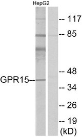 Western blot analysis of lysates from HepG2 cells, using GPR15 Antibody. The lane on the right is blocked with the synthesized peptide.
