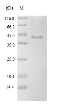 clpP2 Protein - (Tris-Glycine gel) Discontinuous SDS-PAGE (reduced) with 5% enrichment gel and 15% separation gel.