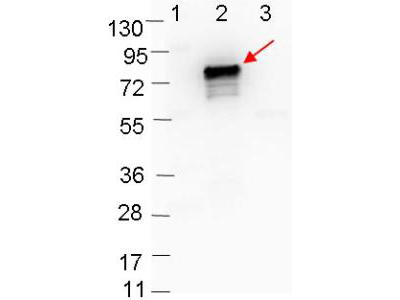 Borrelia burgdorferi OspB Antibody - Western blot showing detection of 0.1 µg of recombinant OspB protein. Lane 1: Molecular weight markers. Lane 2: MBP-OspB fusion protein (arrow; expected MW = 72.7 kDa). Lane 3: MBP alone. Protein was run on a 4-20% gel, then transferred to 0.45 µm nitrocellulose. After blocking with 1% BSA-TTBS overnight at 4°C, primary antibody was used at 1:1000 at room temperature for 30 min. HRP-conjugated Goat-Anti-Rabbit secondary antibody was used at 1:40,000 in MB-070 blocking buffer and imaged on the VersaDoc MP 4000 imaging system (Bio-Rad).