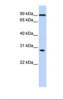 BOULE / BOLL Antibody - Fetal liver lysate. Antibody concentration: 1.0 ug/ml. Gel concentration: 12%.  This image was taken for the unconjugated form of this product. Other forms have not been tested.