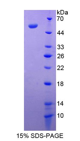 Antithrombin Protein - Recombinant Antithrombin By SDS-PAGE