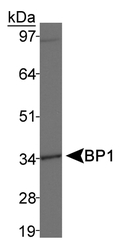 BP1 / DLX4 Antibody - BP1 Antibody Detection of MDA-MB-231 cell lysates.  This image was taken for the unconjugated form of this product. Other forms have not been tested.