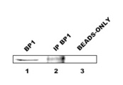 Lanes: 1. BP1-specific band (36kDa) from 10ug of cell extract using anti-BP1 (BP1  Antibody)antibody diluted 1:5,000 2. BP1-specific band after immunoprecipitation of 850 ug of cell extract using anti-BP1 (BP1  Antibody) antibody diluted 1:1,000 3. Negative control for IP in lane 2: cell extract incubated with 50ul of Protein A/G beads.  This image was taken for the unconjugated form of this product. Other forms have not been tested.