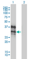 Western Blot analysis of DLX4 expression in transfected 293T cell line by DLX4 monoclonal antibody (M01), clone 1F11.Lane 1: DLX4 transfected lysate(26 KDa).Lane 2: Non-transfected lysate.