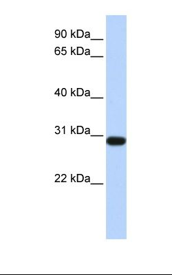 Fetal heart lysate. Antibody concentration: 1.0 ug/ml. Gel concentration: 12%.  This image was taken for the unconjugated form of this product. Other forms have not been tested.