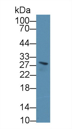 Western Blot; Sample: Mouse Serum; Primary Ab: 1µg/ml Rabbit Anti-Mouse BPGM Antibody Second Ab: 0.2µg/mL HRP-Linked Caprine Anti-Rabbit IgG Polyclonal Antibody