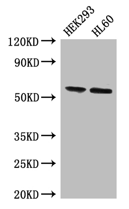 Positive WB detected in:HEK293 whole cell lysate,THP-1 whole cell lysate;All lanes:BPI antibody at 4ug/ml;Secondary;Goat polyclonal to rabbit IgG at 1/50000 dilution;Predicted band size: 54 kDa;Observed band size: 54 kDa;