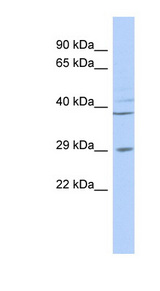BPNT1 antibody LS-C102805 Western blot of MCF7 cell lysate.  This image was taken for the unconjugated form of this product. Other forms have not been tested.