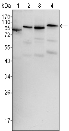 Western blot using BRAF mouse monoclonal antibody against HeLa (1), HL60 (2), HepG2 (3) and NIH/3T3 (4) cell lysate.