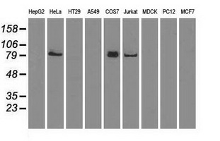 Western blot of extracts (35 ug) from 9 different cell lines by using anti-anti-BRAF monoclonal antibody.