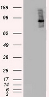 BRAF / B-Raf Antibody - HEK293T cells were transfected with the pCMV6-ENTRY control (Left lane) or pCMV6-ENTRY BRAF (Right lane) cDNA for 48 hrs and lysed. Equivalent amounts of cell lysates (5 ug per lane) were separated by SDS-PAGE and immunoblotted with anti-BRAF.