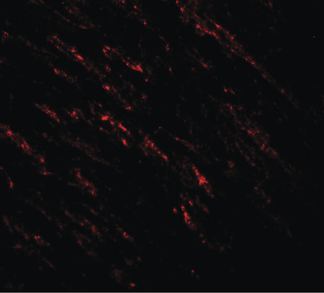 Immunofluorescence of B-raf in human small intestine tissue with B-raf antibody at 20 ug/ml.