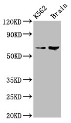 Positive Western Blot detected in K562 whole cell lysate, Rat brain tissue. All lanes: BRAP antibody at 7.5 µg/ml Secondary Goat polyclonal to rabbit IgG at 1/50000 dilution. Predicted band size: 68, 48 KDa. Observed band size: 68 KDa