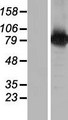BRAT1 / BAAT1 Protein - Western validation with an anti-DDK antibody * L: Control HEK293 lysate R: Over-expression lysate