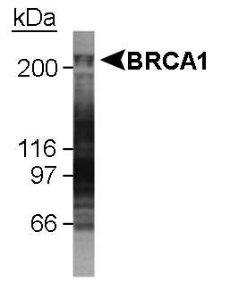 BRCA1 Antibody - Detection of BRCA1 in U2OS whole cell lysate. 1 minute ECL detection.  This image was taken for the unconjugated form of this product. Other forms have not been tested.