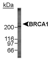 BRCA1 Antibody - Detection of BRCA1 in MCF-7 whole cell lysate. 12 minute ECL exposure.  This image was taken for the unconjugated form of this product. Other forms have not been tested.