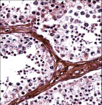 BRD1 Antibody - BRD1 Antibody immunohistochemistry of formalin-fixed and paraffin-embedded human testis tissue followed by peroxidase-conjugated secondary antibody and DAB staining.
